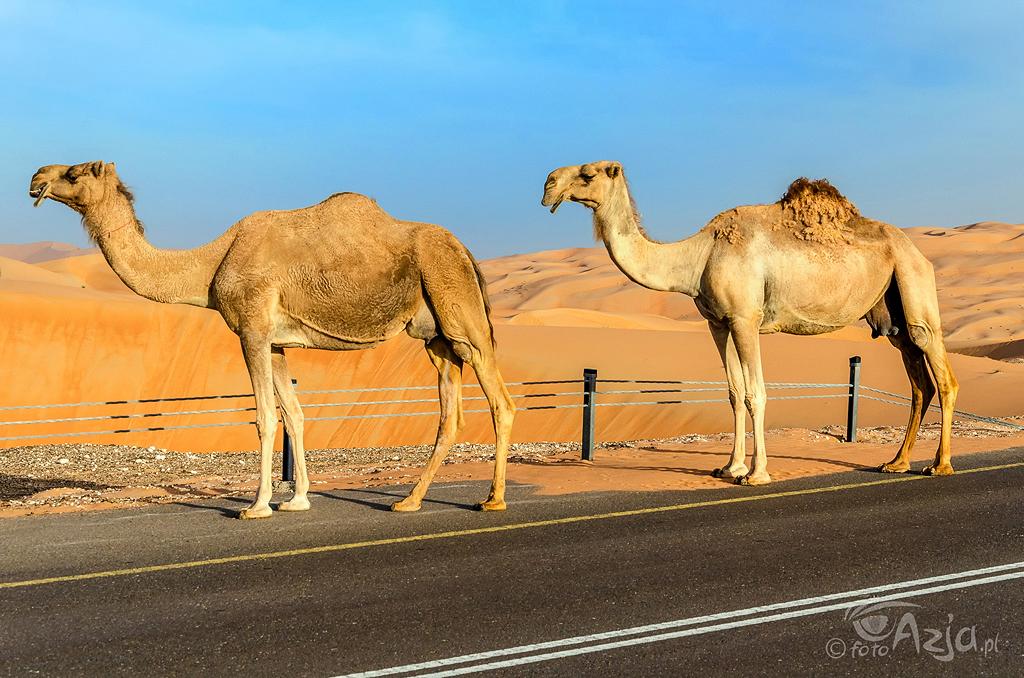 Wielbłądy spacerujące po wydmach
