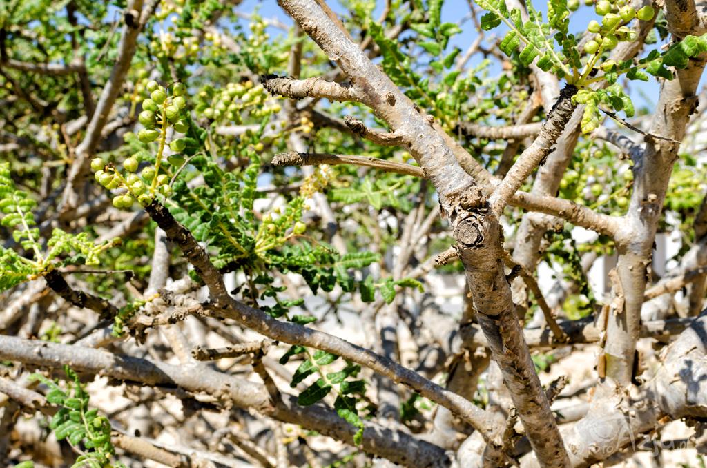 Olibanum (kadzidło frankońskie) / drzewo kadzidłowe